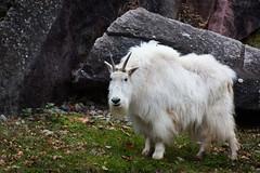 Mountain goat (Cloudtail the Snow Leopard) Tags: schneeziege tier animal mammal säugetier ziege goat bergziege oreamnos americanus rocky mountain zoo wilhelma stuttgart
