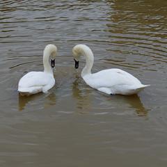 Swan courtship display, Stratford (Dave_A_2007) Tags: bird nature swan wildlife stratforduponavon warwickshire england
