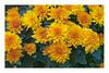 Nature's Beauty (Bob C Images) Tags: flowers blooms mums closeupberlinetopoland