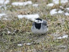 P3190379 (turbok) Tags: bachstelze kampfläufer tiere vögel wildtiere c kurt krimberger