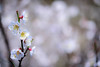 梅 #5ーPlum #5 (kurumaebi) Tags: yamaguchi 秋穂 山口市 nikon d750 nature 自然 landscape 梅 plum ウメ macro マクロ