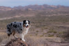 A room with a view (Jasper's Human) Tags: aussie australianshepherd dog lostdutchmanstatepark hike desert