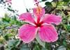 Une bien belle fleur <> A beautiful flower. (France-♥) Tags: 619 fleur flower thailand hibiscus bokeh