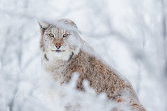 Framed by Winter (CecilieSonstebyPhotography) Tags: catfamily portrait eurasianlynx lynx winter endangered closeup cat canon snow norway january gaupe langedrag canon5dmarkiii markiii branches bokeh white specanimal