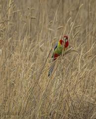 Eastern Rosella (ChrisKirbyCapturePhotography) Tags: eastern rosella australian bird grass phalaris pest species