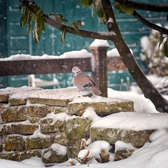 Food and Shelter (Missy Jussy) Tags: bird collareddove snow shed tree drystonewalls garden mygarden newhey winter stormemma beastfromtheeast northwest england rochdale canon canon5dmarkll canon5d canoneos5dmarkii 70200mm ef70200mmf4lusm ef70200mm canon70200mm