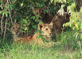 Cubs Hiding Until Their Mothers Return