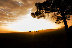 Cows (metsemakers) Tags: cow sunrise sony morning morgen zonsopkomst nex leveroy limburg thenetherlands