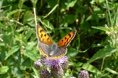 Small Copper Butterfly (east med wanderer) Tags: smallcopper lycaenaphlaeas knapweed itchenvalleycountrypark