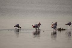 Fenicotteri (paolotrapella) Tags: fenicotteri natura rosa uccelli water acqua