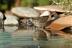Lincoln's Sparrow (5073) (Bob Walker (NM)) Tags: bird setup sparrow drippond lincolnssparrow lisp melospizalincolnii rocksbywater standingonrocks whiterock newmexico usa