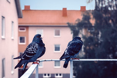 Blue Feathers (seleemdarwish) Tags: animals birds pigeons nature spring colors colorful bird tree morning color balcony lovely pigeon detail closeup beautiful world natural light naturallight blue wings outdoor nikon art sweden gothenburg göteborg beauty explore 2017