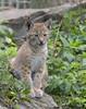 Northern lynx cub, Highland Wildlife Park, Kincraig, Highland, Scotland, UK (Ministry) Tags: northern lynx cub highland wildlife park kincraig scotland uk kitten rzss zoo