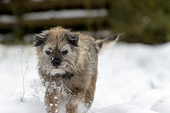 Poppy In The Snow (Andi Hardman) Tags: outdoor spare time snowcovered traveling travelling rucksack leisure trip chilly backpack sunshine exploring dog animal animals cute snow winter puppy border terrier face little white nature cold walk poppy pet