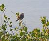 DSC_0383 (tracie7779) Tags: ranchopalosverdes terranearesort whitecrownedsparrow