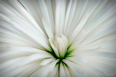 White Flower Unblemished (mraderstorf) Tags: grow fragrant natural pollinated artistic cut digitalart cheerful pastel plant growth vibrant dramatic maryraderstorf bloom stem green petals white colors delicate planted florist striking soft romantic vivid flower blossoming nature color gorgeous flowers elegant smooth silky petal floral colorful radiant unblemished open dreamy photography sentimental pristine blooming fresh flowering luminous glorious nikond700 105mm macro closeup 36576 365project project365