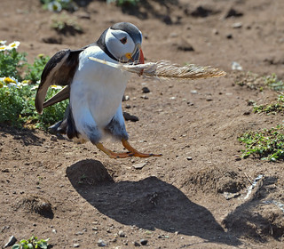 Jumpin' Puffin