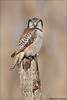 Stumped Northern Hawk Owl (Daniel Cadieux) Tags: owl northernhawkowl vertical perch perched stump raptor eye stare staring