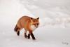 Walk on By (Dan King Alaskan Photography) Tags: redfox fox vulpesvulpes northslope alaska canon80d sigma150600mm