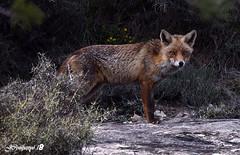 7DSC_5976bb (Pep Companyó - Barraló) Tags: fauna natura animals guineu vulpes animal josep companyo barralo