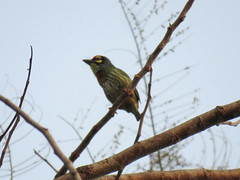 Psilopogon haemacephalus (dhobern) Tags: 2018 china march xtbg xishuangbanna yunnan aves piciformes megalaimidae psilopogonhaemacephalus
