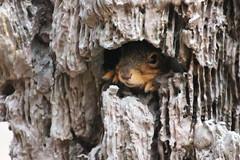 296/365/3583 (April 3, 2018) - Squirrels in Ann Arbor at the University of Michigan (April 3, 2018) (cseeman) Tags: gobluesquirrels squirrels annarbor michigan animal campus universityofmichigan umsquirrels04032018 spring eating peanut aprilumsquirrel overcast art publicart angryneptunesalaciaandstrider statue bronze micheleokadoner micheleokadonerstatue squirrelsandart squirrelsandpublicart livingart 2018project365coreys yeartenproject365coreys project365 p365cs042018 356project2018
