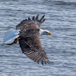 Eagle With Fish thumbnail