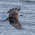 Eagle With Fish thumbnail