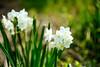 遅咲きの水仙