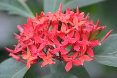 Bosque red flowers (HockeyholicAZ) Tags: flora fauna landscape beauty hermosa linda flor arbol costarica nicoya guanacaste tico seca azucar sugarcane tamarindo coco liberia