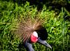 Grulla Coronada Negra_50052 (enricvision) Tags: aves fauna zoo reservados