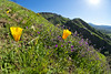 Valley View Preserve (Nathan Wickstrum) Tags: valley view preserve ojai land conservancy ovlc spring 2018 wildflowers poppy california poppies wishbone plant nathanwickstrum