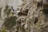 mouette tridactyle-0005 (philph0t0) Tags: mouettetridactyle rissatridactyla blackleggedkittiwake mouette tridactyle rissa tridactyla blacklegged kittiwake bird gull seagull marin pelagique nicher sea mer oiseau