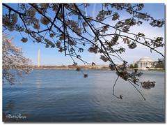 Washington DC's cherry blossoms (Betty Vlasiu) Tags: washington dcs cherry blossoms jefferson memorial washingtondc monument