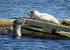 Mermaid dogs (Reva G) Tags: seal harbourseal water ocean wildlife northvancouver northshore mosquitocreekmarina blue cute mermaid