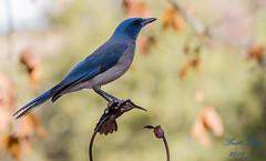 Mexican Jay (dbking2162) Tags: jay mexicanjay wildlife nature nationalgeographic arizona maderacanyon animal outside blue birds bird