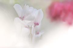 Breath of Spring (lfeng1014) Tags: breathofspring whitecyclamen whiteflower spring macro macrophotography flowermacro closeup bokeh canon5dmarkiii ef100mmf28lmacroisusm dof depthoffield softness softfocus centennialparkconservatory toronto lifeng