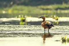 0725 Tadorna Ferruginea II (Hrvoje Simich - gaZZda) Tags: animals tadornaferruginea reflection nature outdoors noperson chitwan nepal asia nikon nikond750 sigma150500563 hrvojesimich gazzda