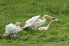 Protecting family (Cor Slee) Tags: swan cygnet
