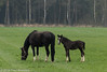 Spring in the meadow I  (Lettele) (Fred / Canon 70D) Tags: horses spring spring2018 canon canon70d canoneos sigma sigma18300mmf3563dcmacrooshsmc lettele paarden veulens foal thenetherlands