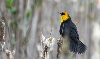 Yellow-headed Blackbird- Announcing his territory