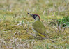 Green Woodpecker ( Picus viridis )  Female (Dale Ayres) Tags: green woodpecker picus viridis female bird nature wildlife