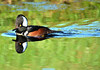 HOODED MERGANSER (concep1941) Tags: birds waterfowlfamily ponds rivers