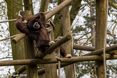 White Handed Gibbon (PapaPiper (Travelling with my camera)) Tags: whitehandedgibbon lille lillezoo lillecitadel france europe ape