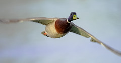 In to my dream (Paul Wrights Reserved) Tags: duck duckinflight ducks mallard bird birding birdphotography birds birdinflight birdwatching flying fly flight outoffocus wings wing waterfowl waterbird