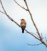 Bluebird (carpingdiem) Tags: indianapolis spring birds bluebird