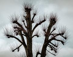 Bushy Tree 2 (Poul_Werner) Tags: aarhus danmark denmark himmel sky tree træ centraldenmarkregion dk