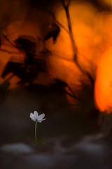 Buschwindröschen (MichaSauer) Tags: anemonenemorosa anémonesylvie buschwindröschen bosanemoon frühblüher makro macro sonnenuntergang woodflower 300mm