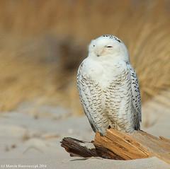 A white owl (v4vodka) Tags: bird birding birdwatching animal nature wildife owl snowyowl sowa sowka predator raptor buboscandiacus sowasniezna puchaczsniezny nycteascandiaca schneeeule eule 雪鸮