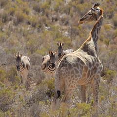 Pyjama Party (Vide Cor Meum Images) Tags: mac010665yahoocouk markcoleman markandrewcoleman videcormeumimages vide cor meum nikon d750 nikkor28300 south africa holiday safari zebra giraffe aquila game reserve wild animals